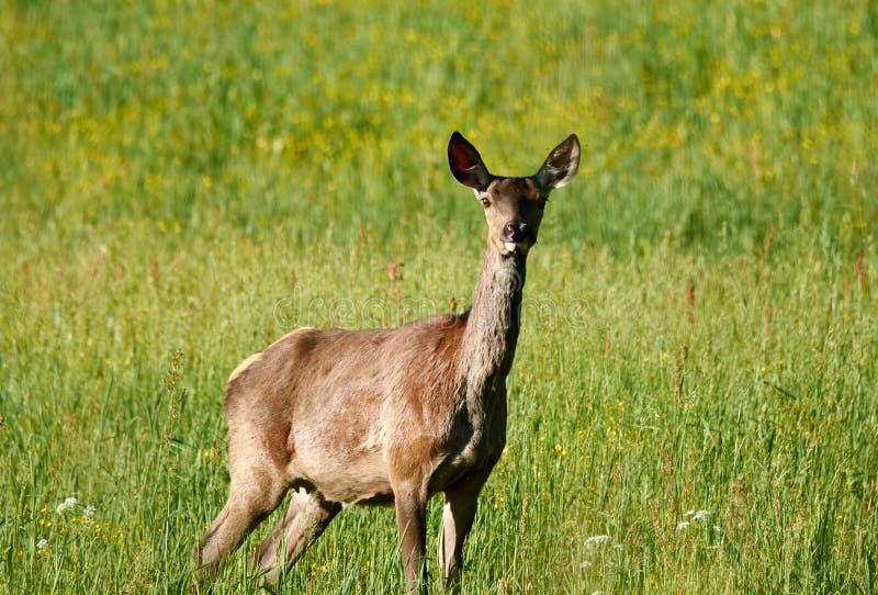 Laughin rogacz na zielonym polu w ranku zdjęcie stock