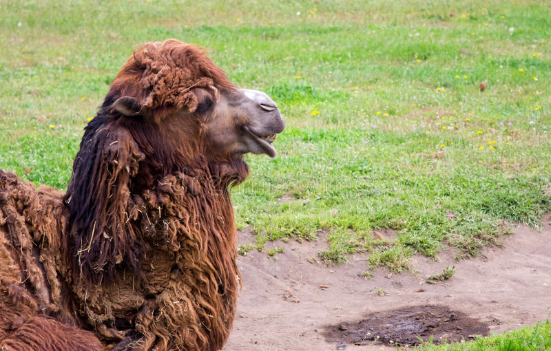 Laughing brown camel royalty free stock images