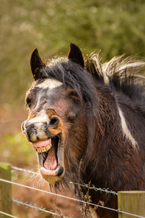 Laughing Brown Horse. royalty free stock images