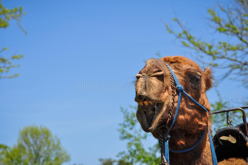 Laughing Camel stock photos