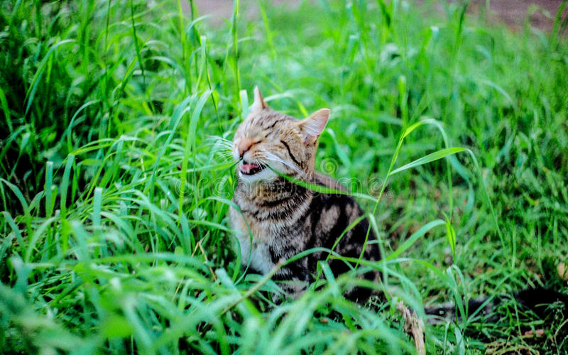 Laughing cat royalty free stock photo