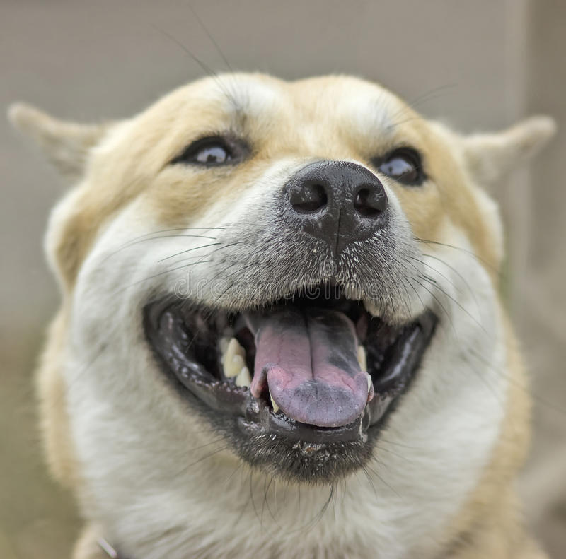Laughing dog. stock images