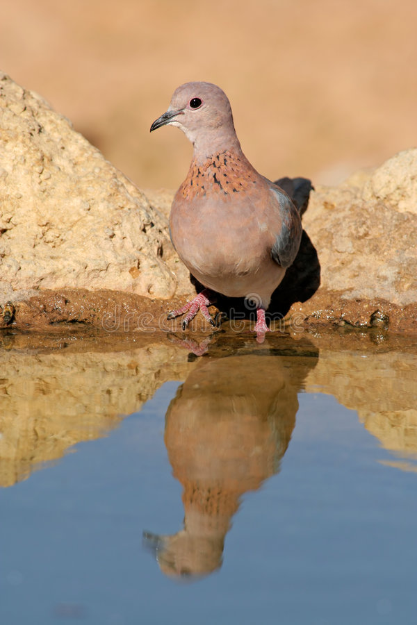 Download Laughing dove stock photo. Image of kalahari, feathers - 6182912