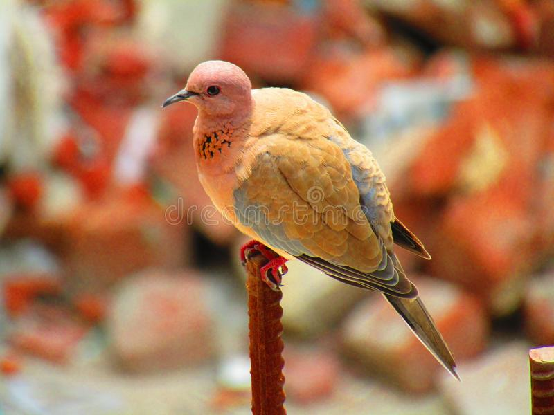 The laughing dove Spilopelia senegalensis is a small pigeon that is a resident breeder in Africa, the Middle East and the India. The laughing dove Bird stock image