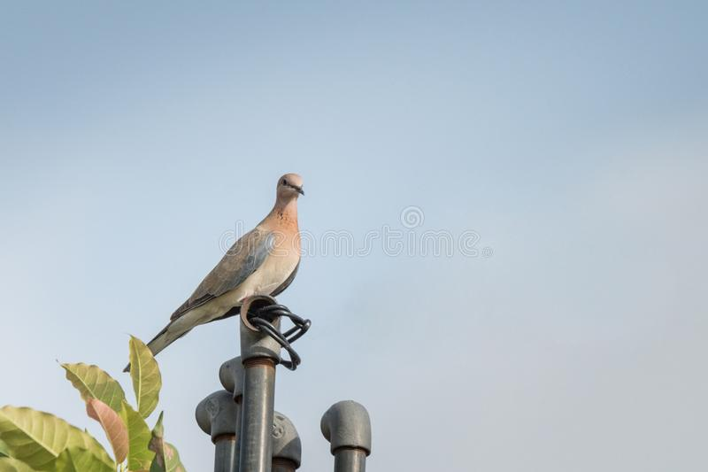 Laughing dove perched on a pipe. Laughing dove perched on a roof top water pipe isolated in blue background royalty free stock photos