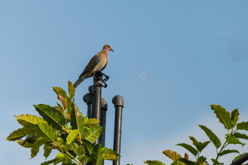 Laughing dove perched on a pipe. Laughing dove perched on a roof top water pipe isolated in blue background royalty free stock image