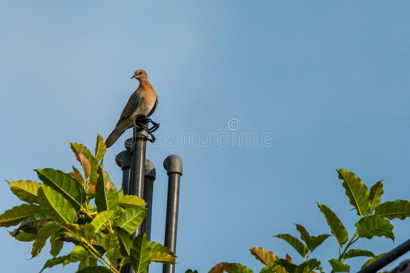Laughing dove perched on a pipe. Laughing dove perched on a roof top water pipe isolated in blue background royalty free stock images