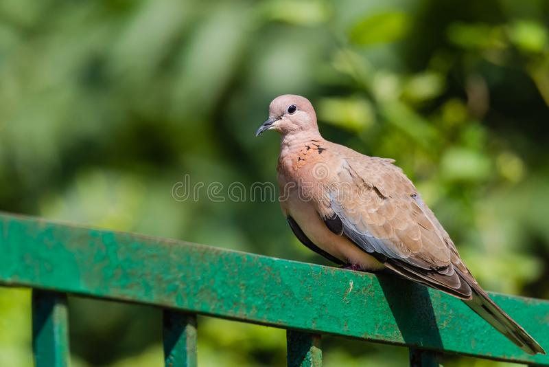 Laughing Dove sitting. Laughing dove perched on railing isoloated in green background stock images