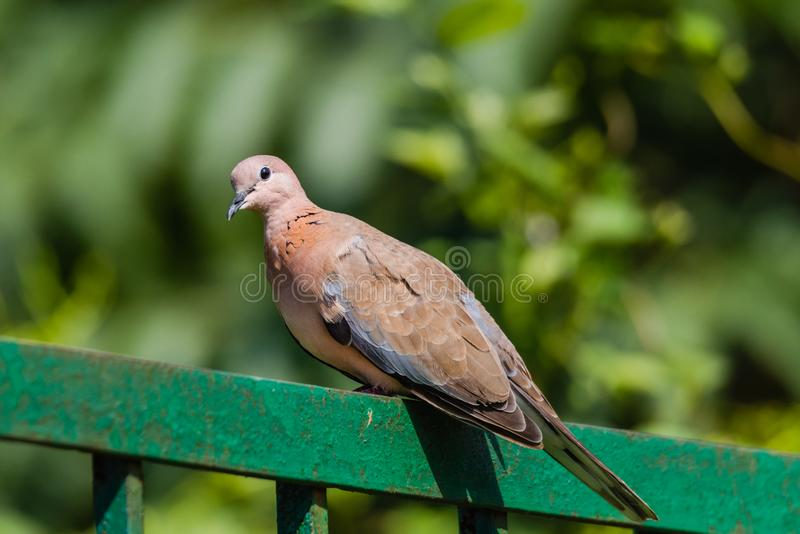 Laughing Dove sitting and watching. Laughing dove perched on railing and watching isoloated in green background stock photography