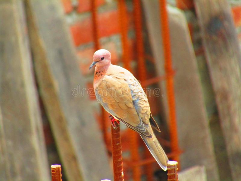 The laughing dove Spilopelia senegalensis is a small pigeon that is a resident breeder in Africa, the Middle East and the India. The laughing dove Bird royalty free stock photo