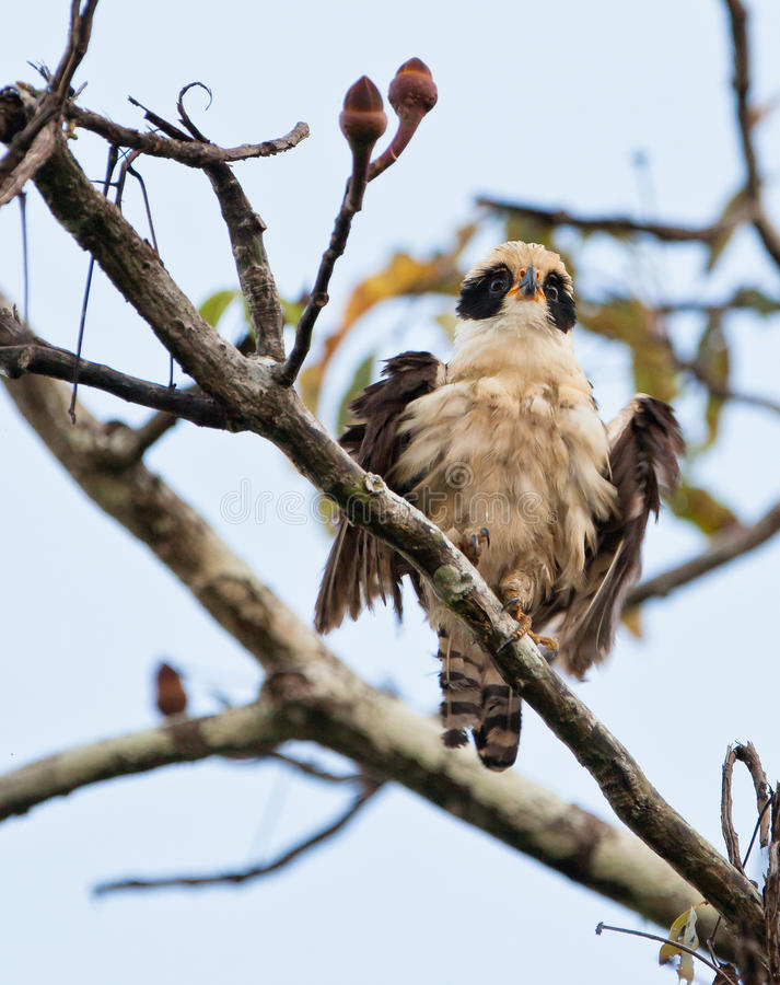 Download Laughing Falcon stock photo. Image of colors, creature - 26913370
