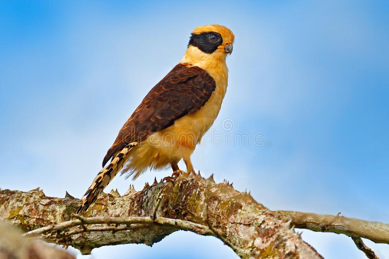 Laughing falcon, Herpetotheres cachinnans, siting on the tree with blue sky, Tarcoles River, Carara National Park, Costa Rica. Bird in the nature habitat royalty free stock image