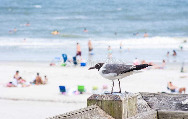 Download Laughing Gull Royalty Free Stock Photo - Image: 26624445