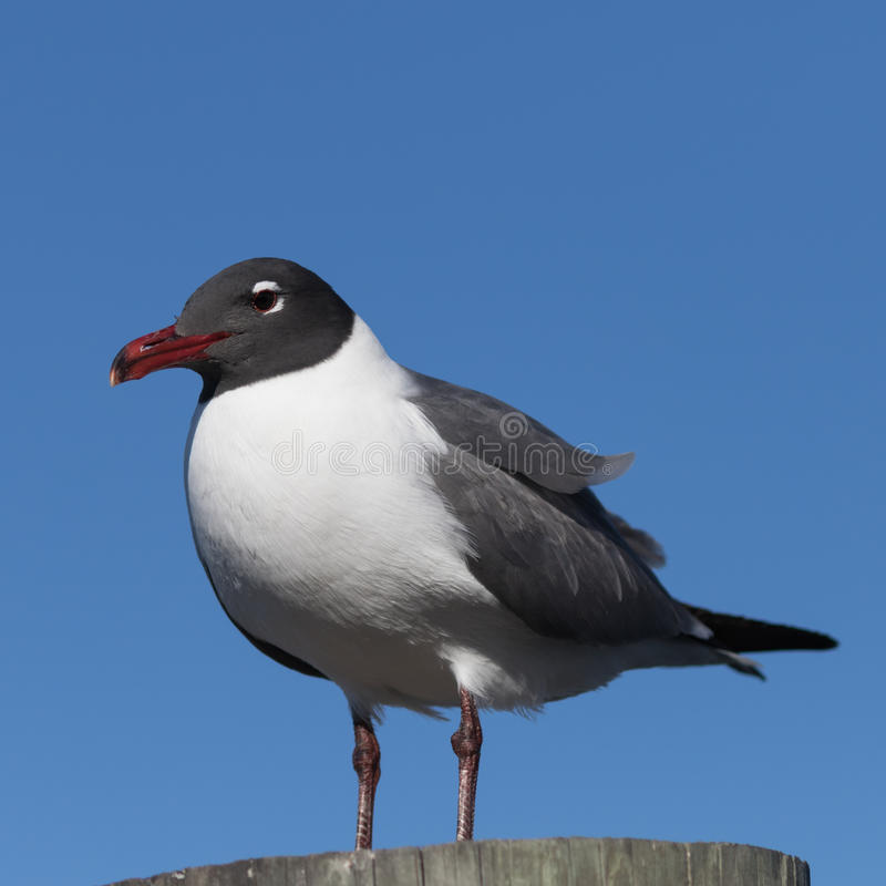 Laughing Gull, Clearwater, Florida. Laughing Gull Larus atricilla, Clearwater, Florida stock photos