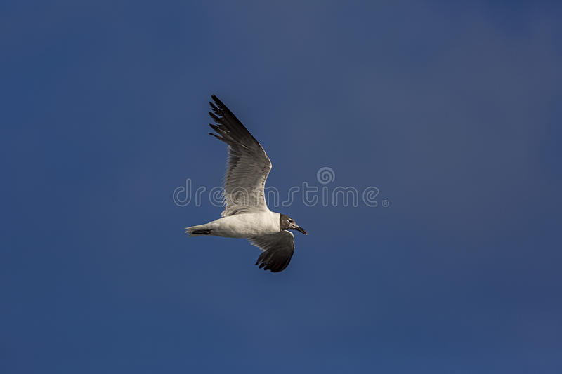 Laughing Gull 1 royalty free stock image