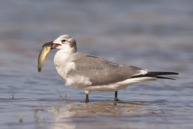 Laughing gull with fish stock photo