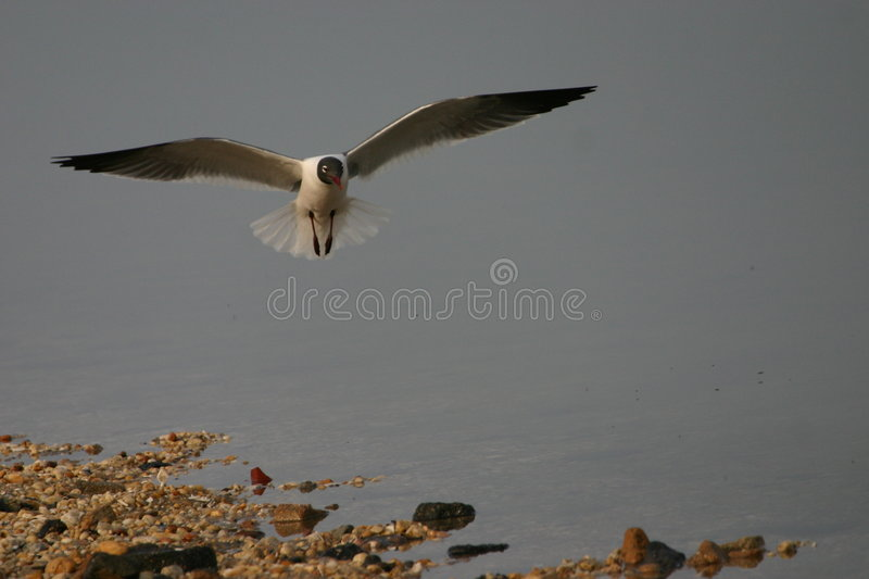 Download Laughing gull in flight stock photo. Image of shorelines - 1263296