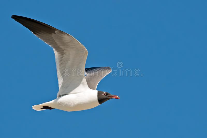 Download Laughing Gull stock photo. Image of wildlife, atricilla - 31083292