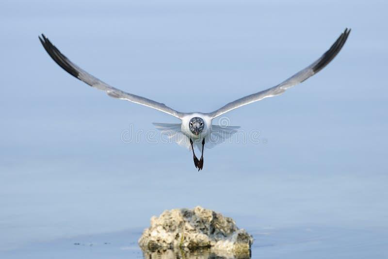 Laughing Gull, Larus Atricilla Royalty Free Stock Image