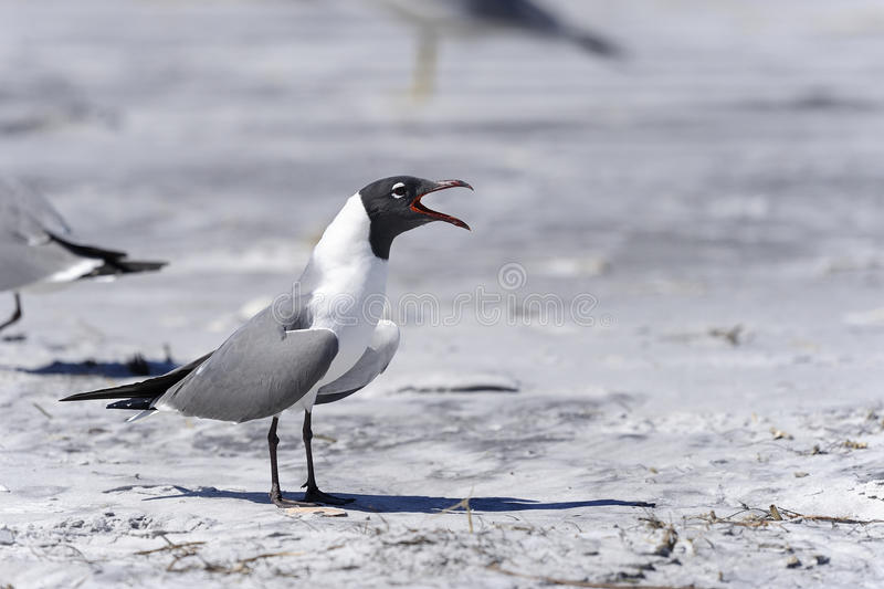 Download Laughing Gull, Larus Atricilla Stock Image - Image: 24978551