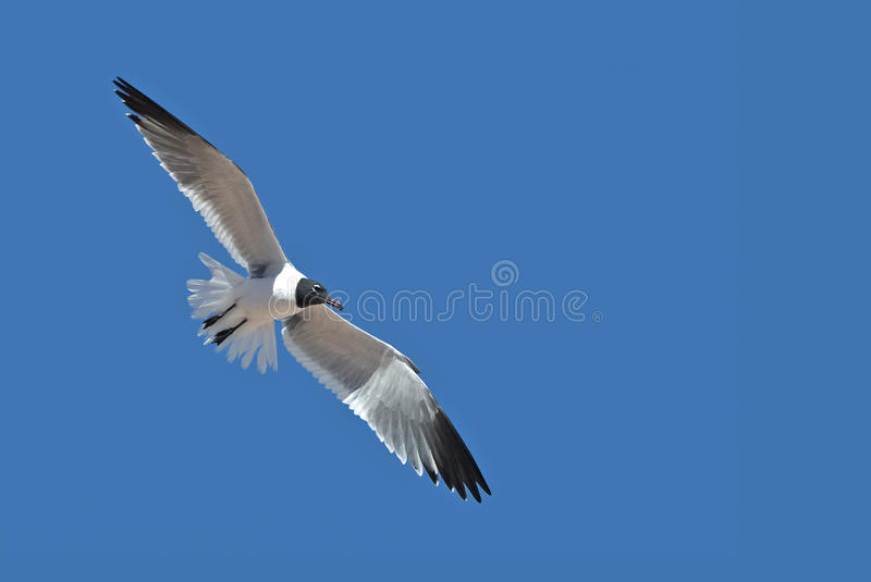 Download Laughing Gull (Larus Atricilla) Stock Image - Image: 25540741