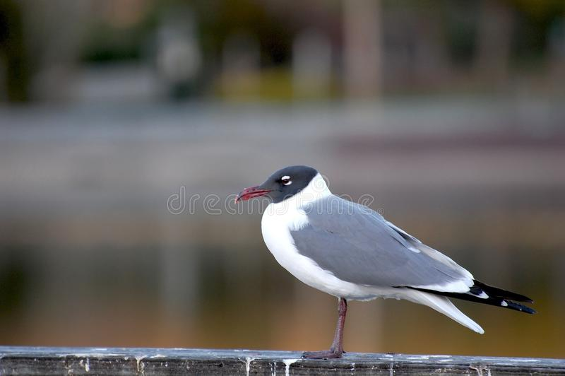 Laughing Gull. A laughing gull, Leucophaeus atricilla, in summer plumage sitting on a rail royalty free stock image