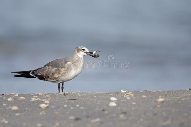 A laughing gull Leucophaeus atricilla eating a fish on the beach with the gulf of Mexico in the background. royalty free stock photo