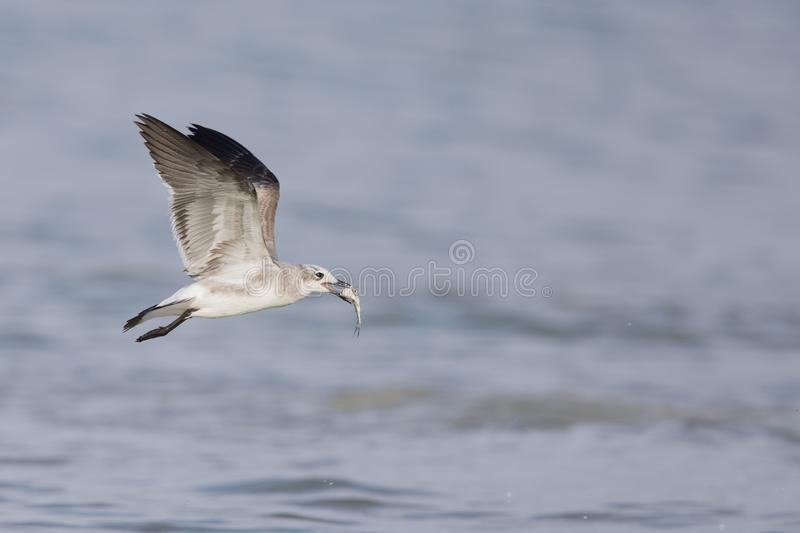 A laughing gull Leucophaeus atricilla in flight over the beach with sea in the background. stock photography