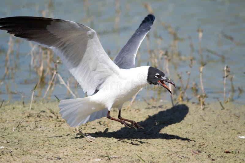 Download Laughing Gull (Leucophaeus Atricilla) Stock Image - Image of white, gull: 29717147