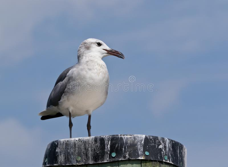 Laughing Gull Portrait Stock Image