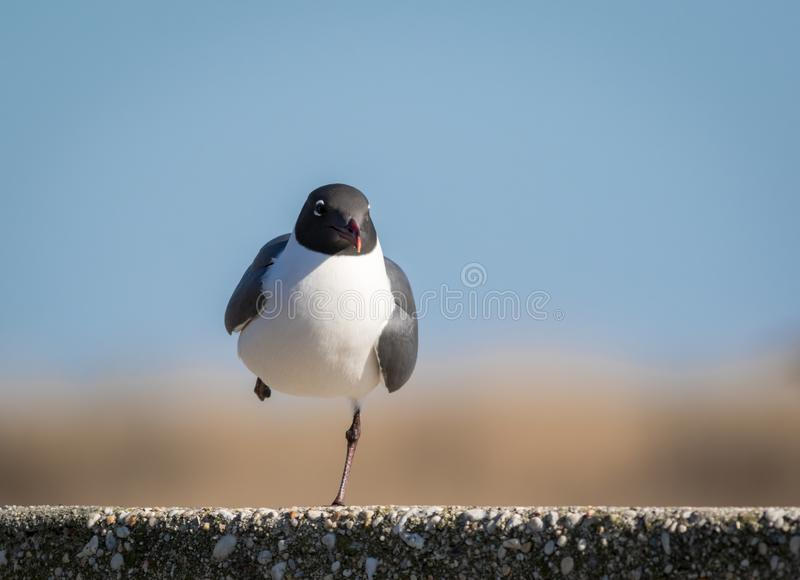 Laughing Gull, in a series of poses stands on a concrete post against blue sky. Laughing Gull, Leucophaeus atricilla, in a series of poses stands on a concrete stock image