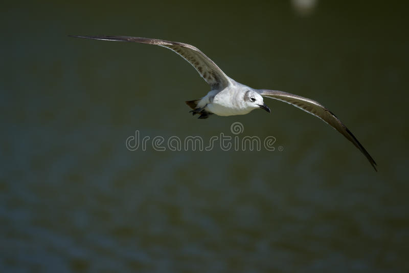 Download Laughing Gull (Leucophaeus Atricilla) In Flight. Stock Image - Image of bird, flying: 29717137