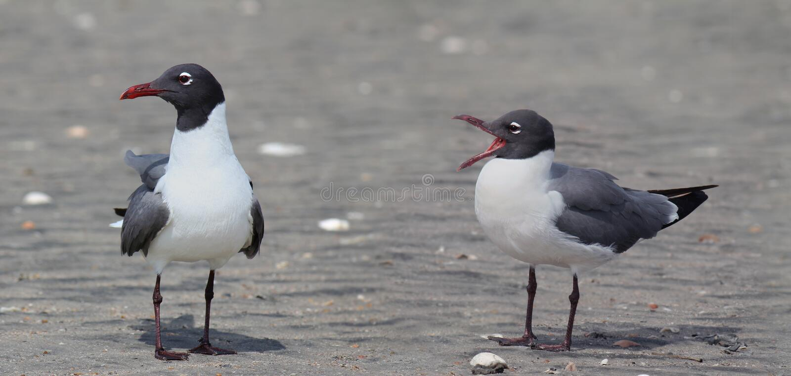 Download Laughing Gulls stock photo. Image of seagull, comedy - 24776446