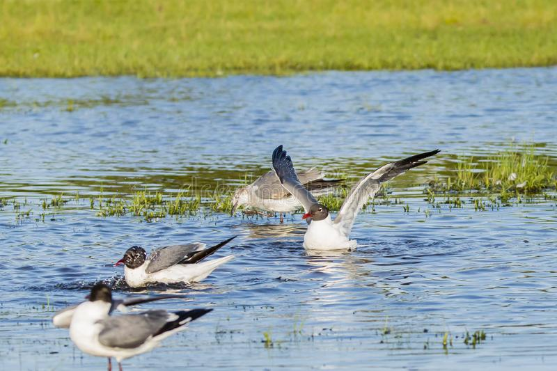 Laughing Gulls in Breeding Plumage Flapping in Water royalty free stock photo