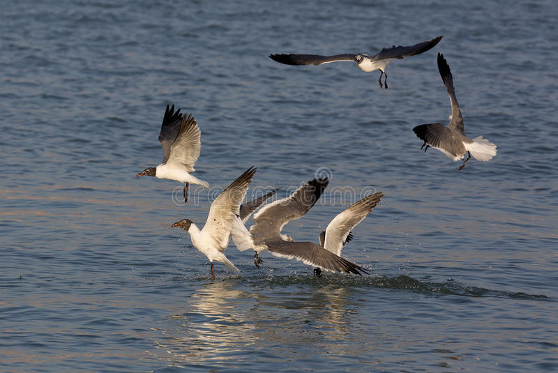 Download Laughing Gulls (Larus Atricilla) Stock Image - Image: 30041865