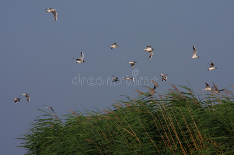 Download Laughing gulls in flight stock photo. Image of flight - 10410502