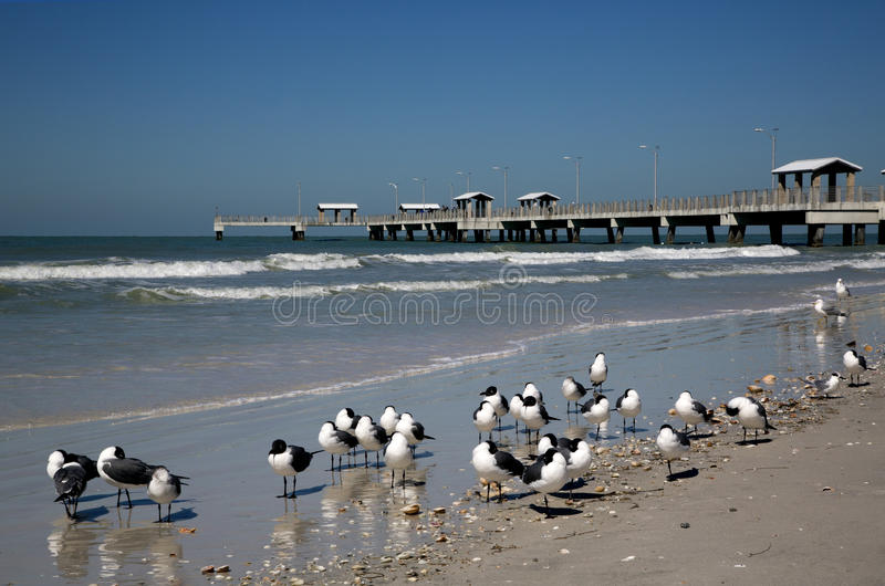 Download Laughing Gulls (Larus Atricilla) And Fishing Pier Stock Image - Image: 30393807