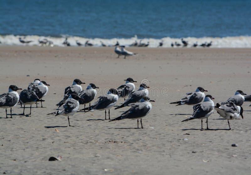 Laughing Gulls Leucophaeus Atricilla on Fernandina Beach, Fort Clinch State Park, Nassau County, Florida USA.  royalty free stock photography