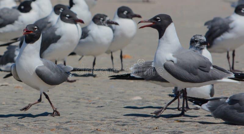 Laughing Gulls Leucophaeus Atricilla on Fernandina Beach, Fort Clinch State Park, Nassau County, Florida USA.  stock photography