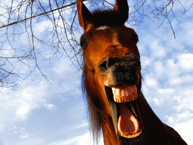 Laughing horse stock image