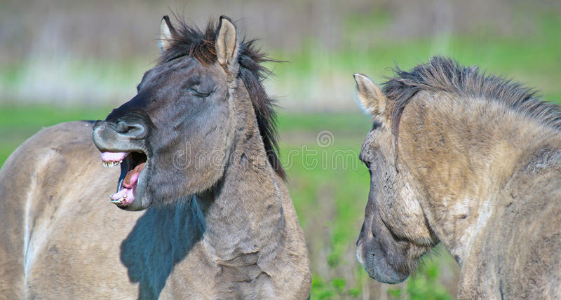 Laughing horse in a meadow royalty free stock photo