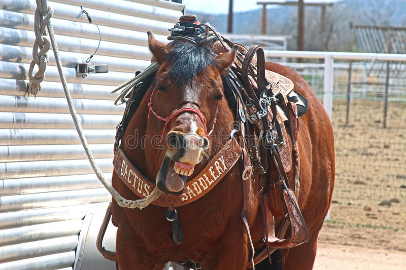 Laughing Horse. A horse who thinks the rodeo is a laughing matter in Arizona stock photo