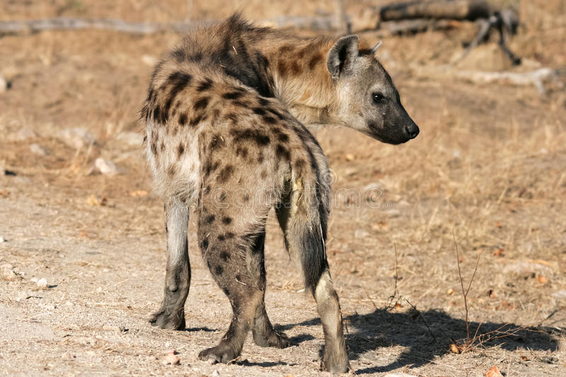 Laughing hyena royalty free stock photography