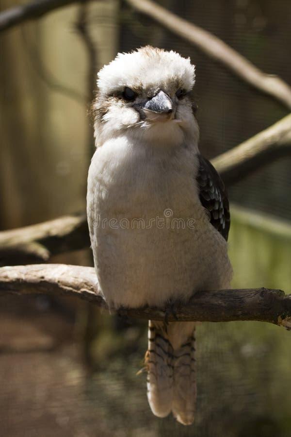 Download Laughing Kookaburra (Dacelo Novaeguineae) Stock Image - Image: 5084227