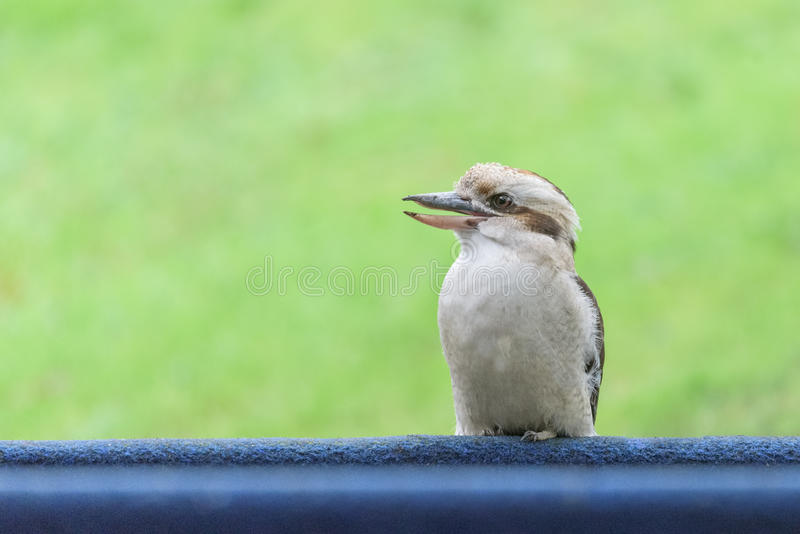 Laughing kookaburra profile with clean background stock image