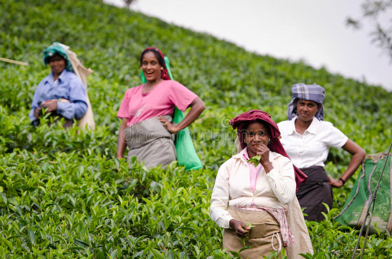 Laughing tea pickers royalty free stock images