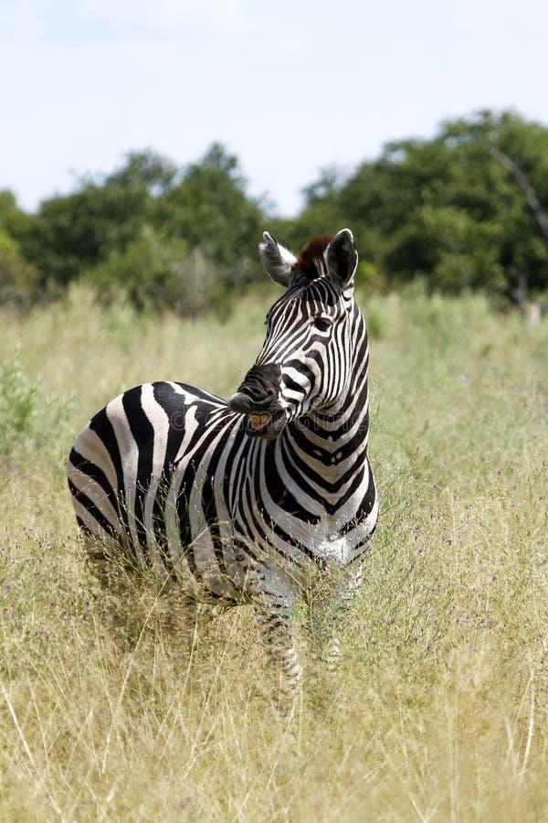 The Laughing Zebra stock photo