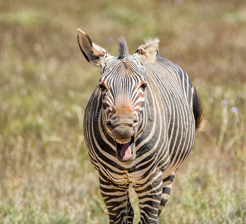 Laughing Zebra royalty free stock photos