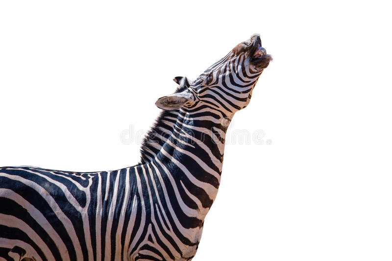 Laughing zebra isolated royalty free stock images