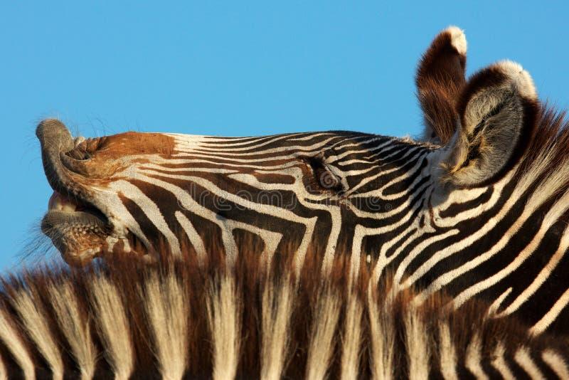 Laughing zebra portrait royalty free stock photo